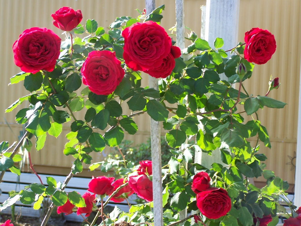 Beautiful rose images and wallpapers 12