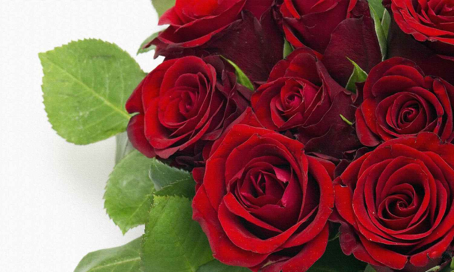 Beautiful rose images and wallpapers 13