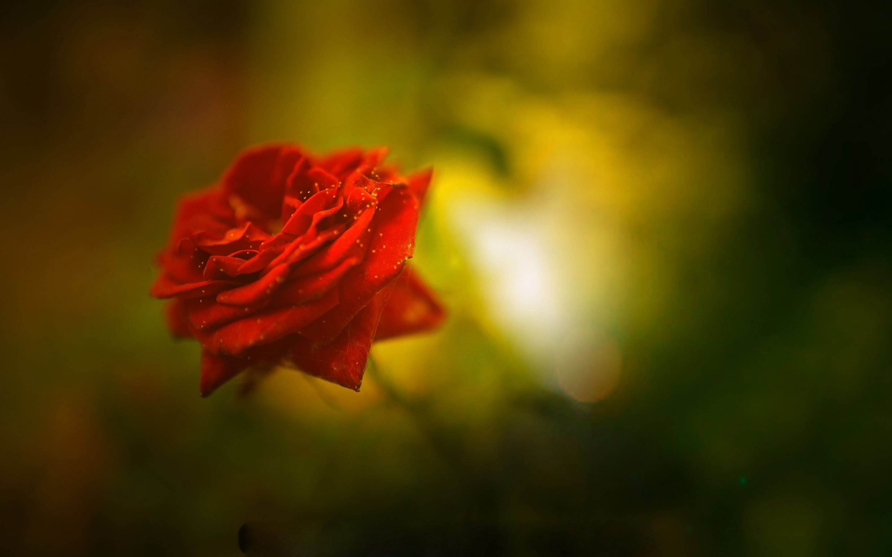 Beautiful rose images and wallpapers 15