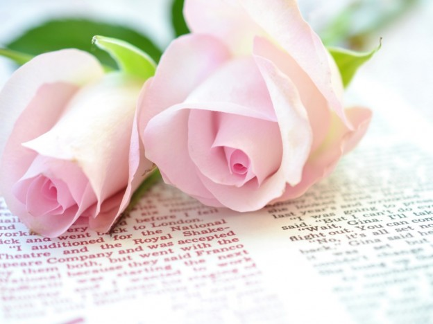 Beautiful rose images and wallpapers 19
