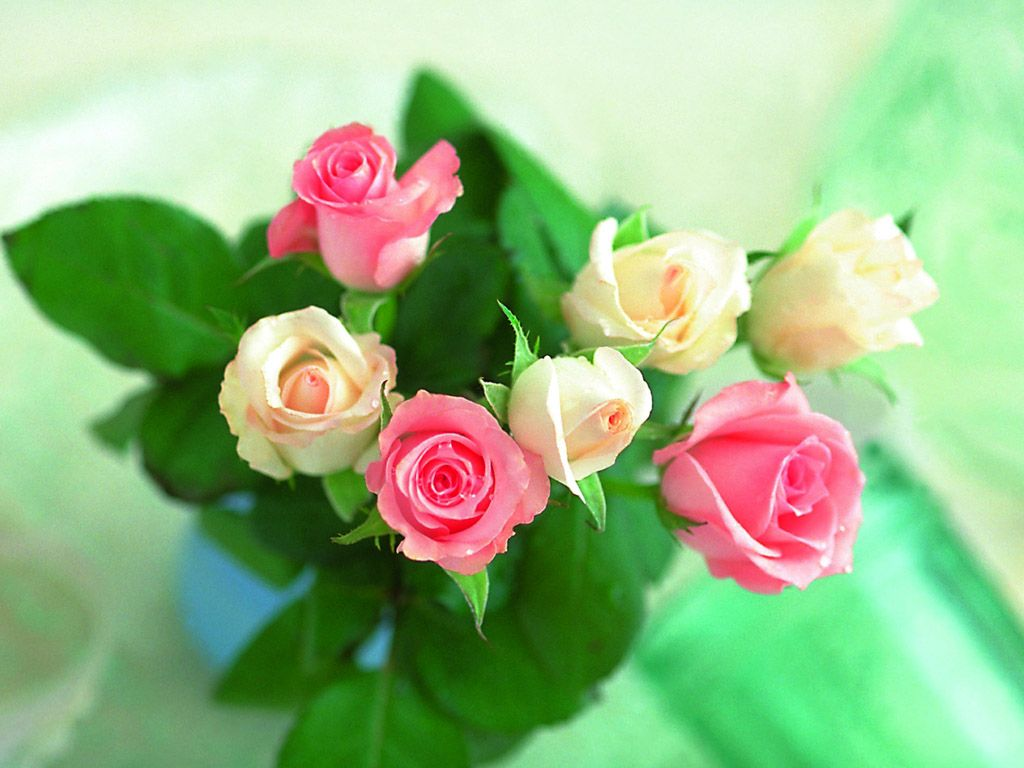 Beautiful rose images and wallpapers 2