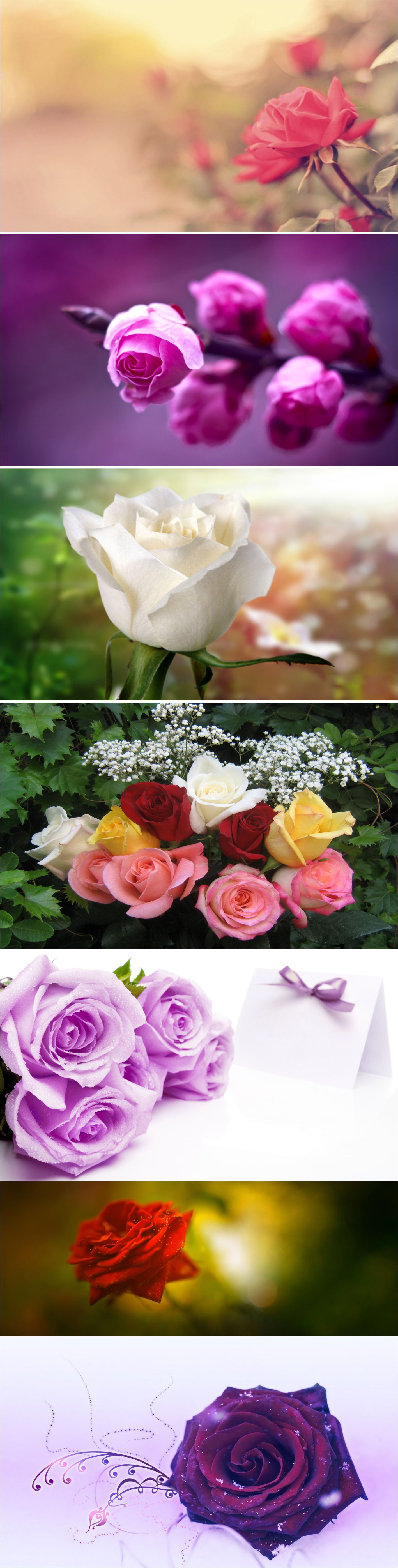 Beautiful rose images and wallpapers 2018