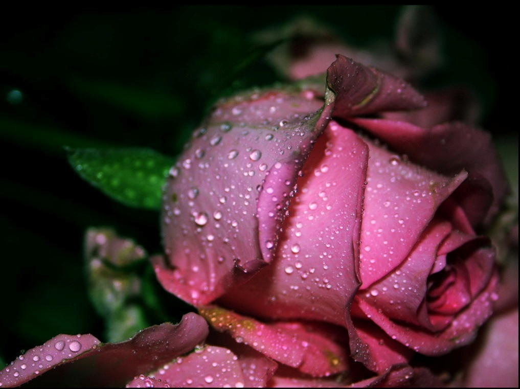 Beautiful rose images and wallpapers 22