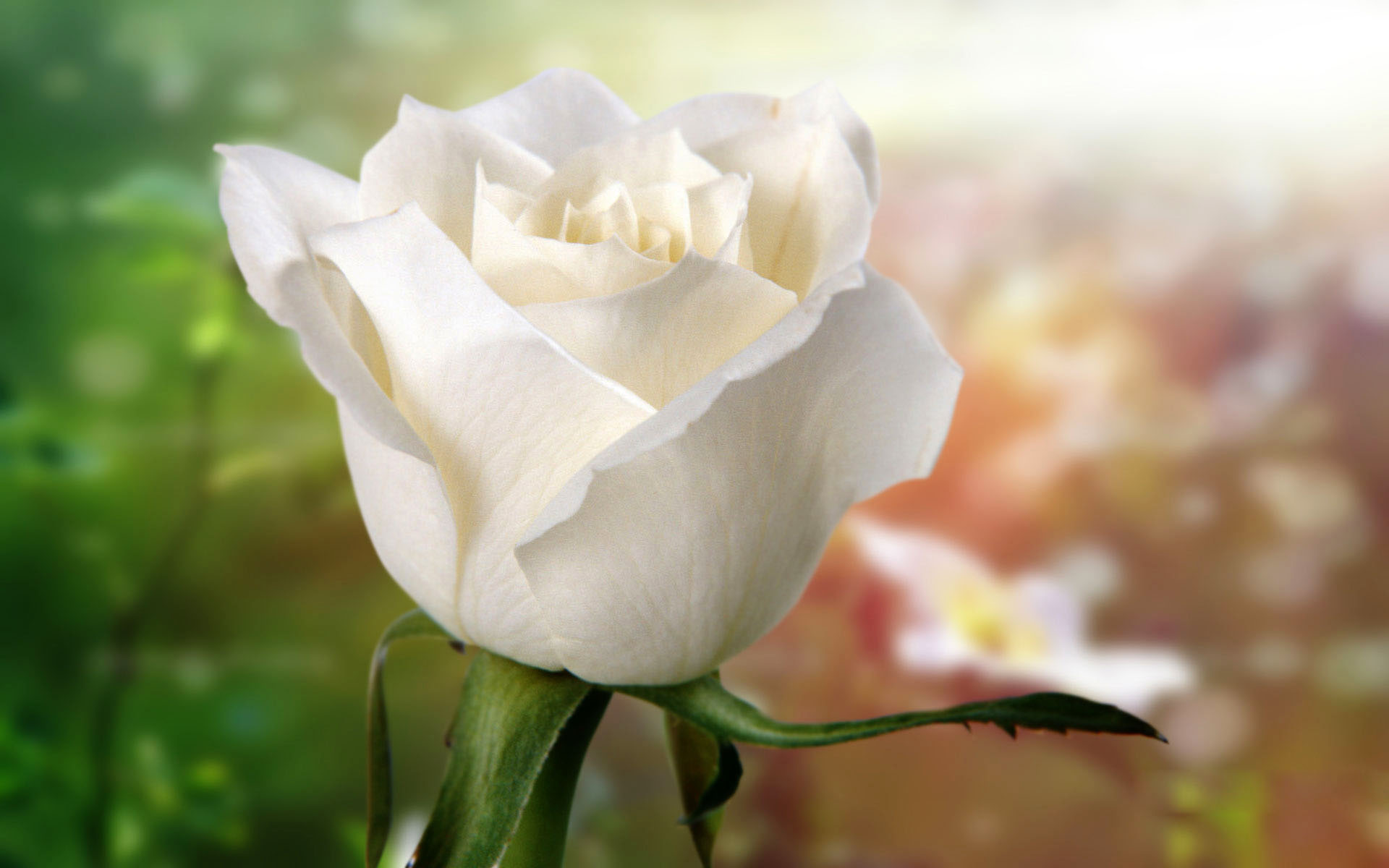 Beautiful rose images and wallpapers 25