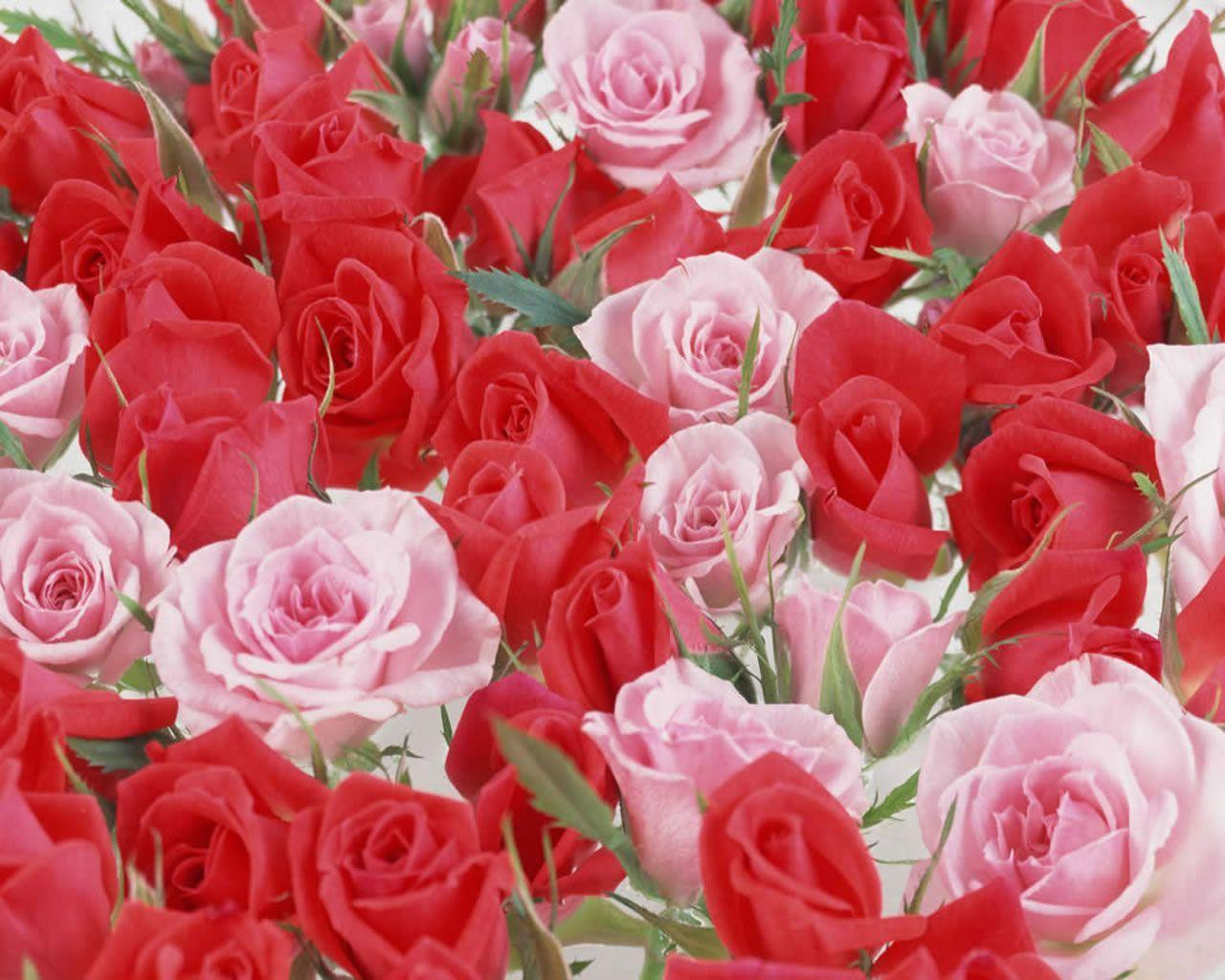 Beautiful rose images and wallpapers 3