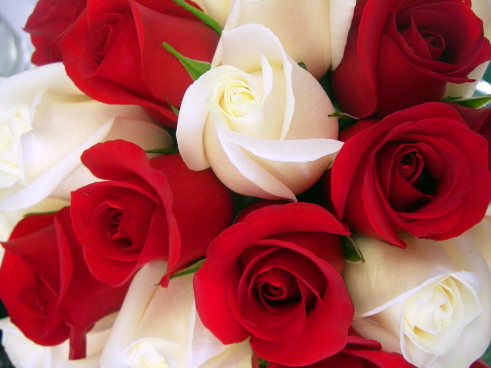 Beautiful rose images and wallpapers 5