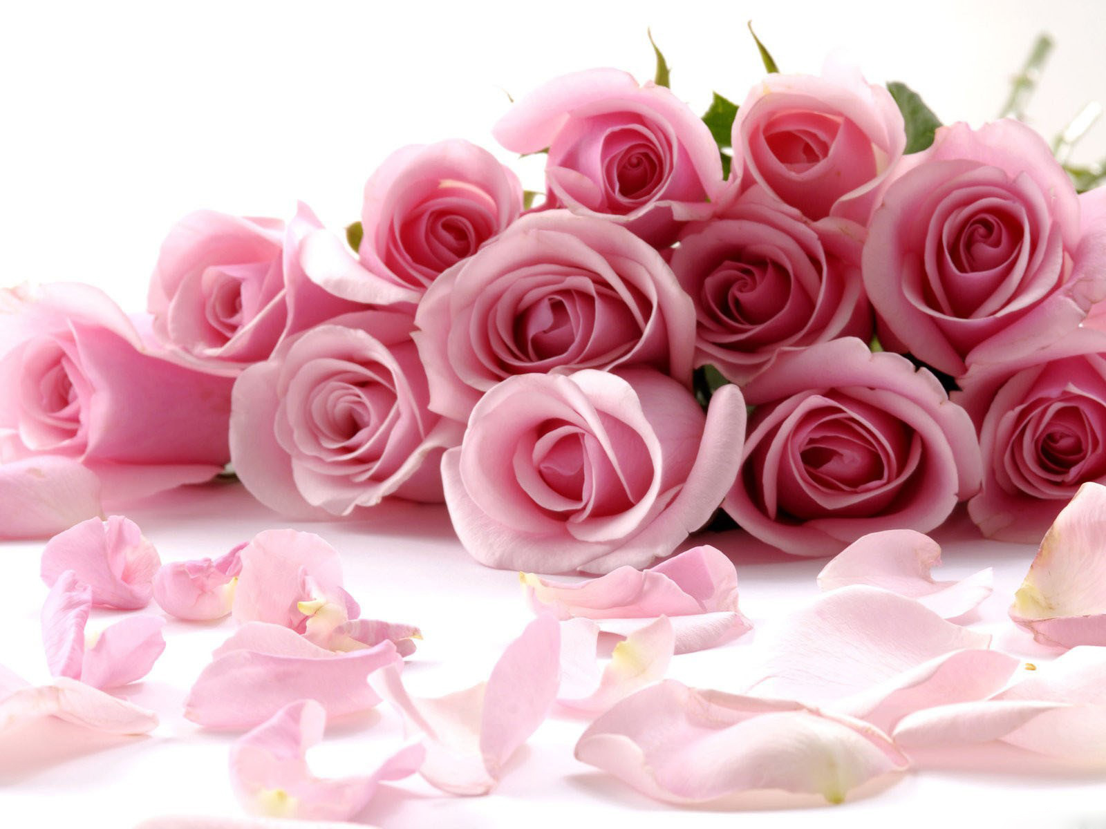 Beautiful rose images and wallpapers 6