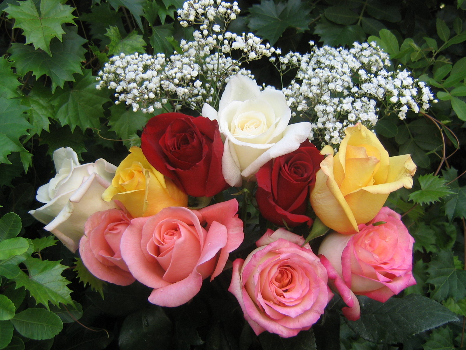 Beautiful rose images and wallpapers 8