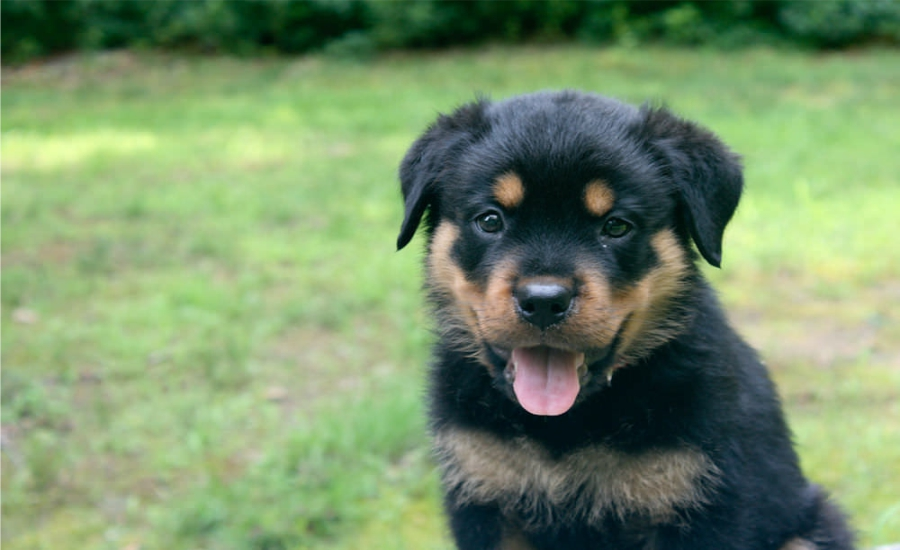 Best rottweiler pictures Feture